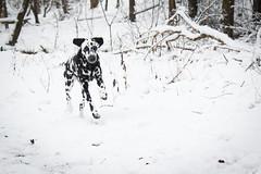 Fleckentier im Schnee (blumenbiene) Tags: schnee winter dog white snow black dogs female forest walking hund wald schwarz dalmatian hunde spaziergang dalmatiner weis hündin