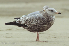Herring Gull - 2nd Year  - December (aaabela) Tags: bird december gull 2ndyear aves larusargentatus larus herringgull laridae charadriiformes argentatus chordata