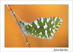Euchloe crameri (Adria Miralles) Tags: barcelona butterfly january enero mariposa papallona pieridae papilionoidea euchloe crameri