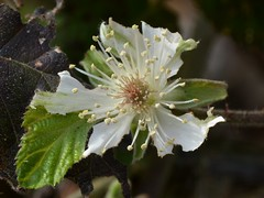 New flower of native Wild Blackberry (Rubus ursinus, Rosaceae) with stamens and pistils (Treebeard) Tags: california stamens santabarbaracounty rosaceae pistils sanmarcospass rubusursinus wildblackberry perfectflower