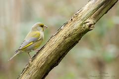 Verdier d'Europe (Chloris chloris)-3 (lolo_31) Tags: birds aves carduelischloris oiseaux fringillidae europeangreenfinch verdierdeurope fringillids passriformes