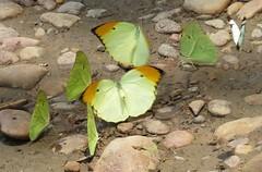 Anteos menippe, Orangetip Angled-Sulphur (Birdernaturalist) Tags: peru butterfly wings pieridae coliadinae richhoyer