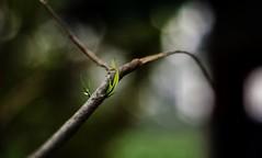 After Winter (Chiradeep.) Tags: macro leaf bokeh shallowdof