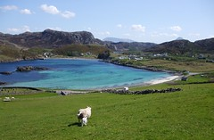 scourie bay and sheep