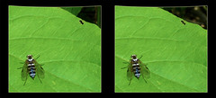 Chrysopilus Fasciatus, Snipe Fly on Leaf 1 - Cross-eye 3D (DarkOnus) Tags: macro beautiful closeup female bug lumix fly leaf stereogram 3d crosseye pennsylvania butt panasonic stereo thursday stereography buckscounty diptera snipe crossview fasciatus chrysopilus dmcfz35 beautifulbugbuttthursday