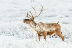 Scenting the air (frostnip907) Tags: winter white snow alaska landscape reindeer gold frost hoarfrost wildlife antlers wilderness caribou herd tundra alpenglow taiga canon7d tamron150600mmf563spdivcusd