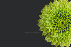 Green Macro (The Gaggle Photography | Jessica Nelson) Tags: flowers flower macro chrysanthemum macroflowers