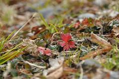 めだつ。 (ゆうき。) Tags: red plant nature nikon 赤 雑草 小さい d5000 zaoou