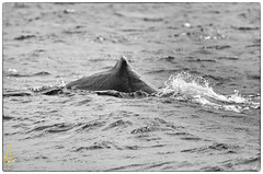 Can Opener (Izzysan) Tags: nikon caribbean marinemammal whalewatching carnivore dominica cetaceans cetacean nikondslr physetercatodon physetermacrocephalus physeteridae odontocete dominicaimage dominicaphoto dominicaphotography nikonslrgroup