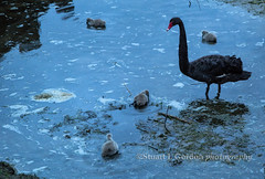 Adult Black Swan and Cygnets (chasingthelight10) Tags: travel newzealand nature photography landscapes countryside rotorua events lakes places things sunrises blackswans lakerotorua