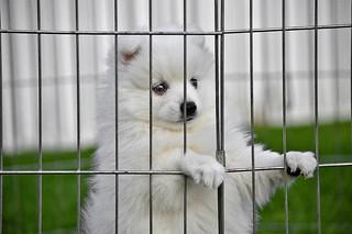#Puppy in the playpen... Japanise Spitz