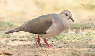 Juruti-pupu | White-tipped Dove (Leptotila verreauxi)