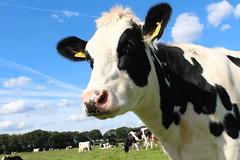 Cows Cows Cows (excellentzebu1050) Tags: animal animals closeup cow cattle outdoor farm stan animalportraits heifer dairycows coth5 sept2015shootcowsheifers