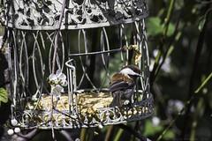 Chestnut-backed chickadee (julesnene) Tags: california bird backyard plum feeder cage chickadee backyardbird suet feederbird plumblossoms chestnutbackedchickadee poecilerufescens canonef400mmf56lusmlens julesnene juliasumangil canon7dmarkii canon7dmark2