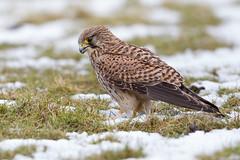 Kestrel (Andy Davis Photography) Tags: snow canon falcon perched kestrel falcontinnunculus cudyllcoch