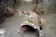 Desert Fox (//rusty//) Tags: chicago color film animal 35mm zoo desert minolta kodak tan negative fox expired creature selfprocessed portra maxxum7 160nc 50mmf17 diycolor epsonv500 unicolorc41