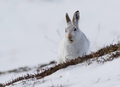 image (Nigey2) Tags: scotland highlands hare wildlife mountainhare