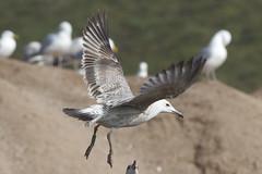 Caspian gull / Larus cachinnans / Pontische meeuw 2cy [G]XCHT (Herman Bouman) Tags: caspiangull laruscachinnans pontischemeeuw