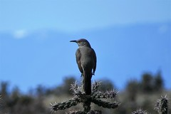 Prickly Perch (Patricia Henschen) Tags: curvebilledthrasher bird chicobasinranch coloradosprings colorado ranch highplains cholla cactus thrasher curvebilled rural backroads