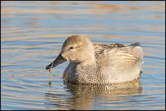Gadwall (Male) (John R Chandler) Tags: uk male bird duck unitedkingdom coventry westmidlands warwickshire wildfowl gadwall anasstrepera brandonmarsh warwickshirewildlifetrust