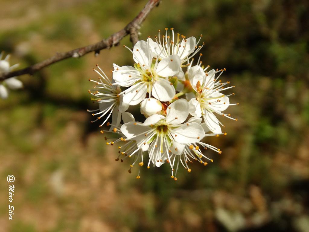 Águas Frias (Chaves) - ... flor de macieira ...