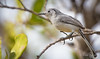 Cuban Gnatcatcher - Polioptila lembeyei (Aphelocoma_) Tags: bird nature animal march photo spring image wildlife cuba aves photograph gnatcatcher cayococo 2015 passeriformes polioptila canonextenderef14xii ciegodeávila polioptilidae canoneos5dmarkiii polioptilalembeyei cubangnatcatcher canonef300mmf28lisiiusmlens