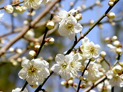 (hamapenguin) Tags: white flower nature spring ume  japaneseapricot  prunusmume