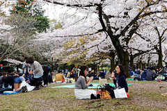 20160405-056-Picnics under Yoyogi-koen cherry blossoms (Roger T Wong) Tags: travel people holiday japan garden balloons tokyo spring picnic crowd harajuku cherryblossoms canonef1740mmf4lusm yoyogikoen 2016 canon1740f4l canoneos6d rogertwong