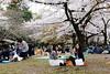 20160405-056-Picnics under Yoyogi-koen cherry blossoms (Roger T Wong) Tags: travel people holiday japan garden balloons tokyo spring picnic crowd harajuku cherryblossoms canonef1740mmf4lusm yoyogikoen 2016 canon1740f4l canoneos6d rogertwong