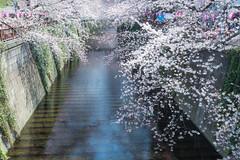 Sakura Curtain (Sharleen Chao) Tags: travel japan canon tokyo  sakura cherryblossoms  meguro hanami meguroriver   1635mm   nagameguro   5dmarkiii