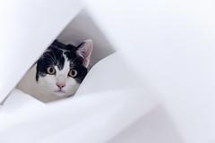 317 (Rafi Moreno) Tags: pet white cat canon vintage soft hipster pale retro gato felino oreo mascotas rafi 365proyect proyecto365fotos