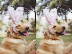 (Tc photography. Per) Tags: pink portrait dog pet pets color cute rabbit bunny dogs girl smile goldenretriever 35mm canon easter golden costume photoshoot happiness naturallight ears pascua kawaii easterbunny retiever tcphotography