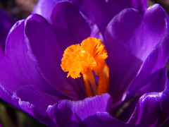 Her Majesty Primavera Crocusia (Pictoscribe) Tags: easter spring crocus week pictoscribe