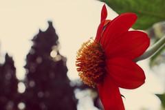 Echinacea de Perfil (Govinda John) Tags: naturaleza flores flower nature canon echinacea canont5i