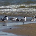 Laughing Gulls thumbnail