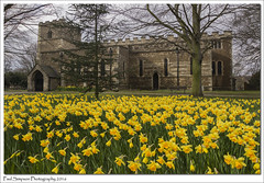 St Lawrence and Daffodils (Paul Simpson Photography) Tags: flowers trees flower church nature petals religion stlawrence daffodils yellowflowers scunthorpe photosof imageof photoof northlincs imagesof sonya77 paulsimpsonphotography southhummberside