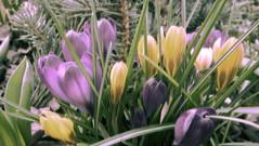 Frhlingstraum//Spring Dream (MarWen26) Tags: sun flower grass photoshop germany deutschland march spring dream gimp blumen fujifilm gras beet sonne mrz effekt frhling traum infrarot