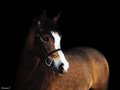 (suzcphotography) Tags: portrait horse black canon 50mm mare edited background pony welsh equestrian equine t3i