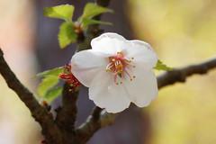 Cerasus incisa Rinpo-zakura   (ashitaka-f) Tags: white flower japan cerasus  rosaceae incisa  rinpozakura