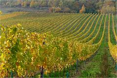 Goldener Oktober 01 (lady_sunshine_photos) Tags: austria europa herbst niedersterreich weingarten herbstfrbung pfaffsttten