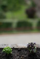 Basils (Puljak) Tags: plant pentax bokeh depthoffield basil f2 bokehlicious smcpentaxk50mmf14