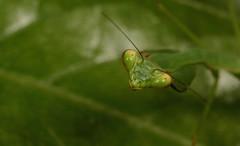 Mantis (rkskinner10) Tags: macro mantis insect panama