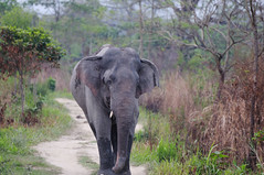 KAZ_126 (soggy_3_16) Tags: birds nikon wildlife elephants 70300 kaziranga d90