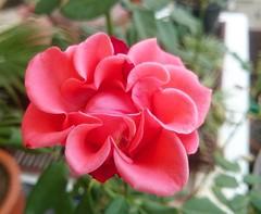 กุหลาบดอกแปลกๆ มีสองสีด้วย สีจมออนกับสีแดงในดอกเดียว
