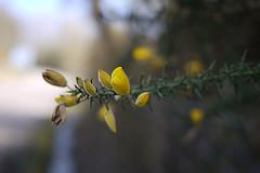 150316 034 (Jusotil_1943) Tags: flores desenfoque silvestres selectivo 150316