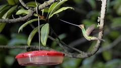 That's a long bill Pinocchio. (ricmcarthur) Tags: bird nature ecuador hummingbird ricmcarthur swordbilledhummingbird ensiferaensifera rondeauric rickmcarthur