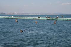 Gulls are looking at hawks flying (kasa51) Tags: sea bird japan hawk gull 鳶 カモメ 鴎 tomonoura 鞆の浦 トンビ