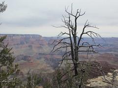 Gnarled tree at Grandview Point, Grand Canyon, Arizona (Paul McClure DC) Tags: arizona nationalpark scenery grandcanyon coconinocounty march2016