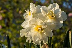 Narcissus (Fly Sandman) Tags: flower macro magichour narcissus neoshomo