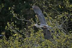 Great Blue Heron- IMG_9967a1c2 (Sue Coastal Observer) Tags: bc britishcolumbia flight tsawwassen greatblueheron nesting ardeaherodias gbhe